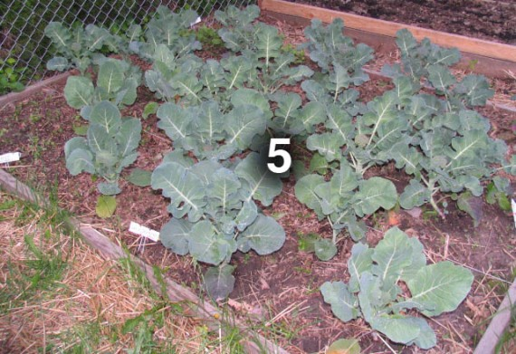 Bed 5 has rapidly maturing broccoli and was seeded a few weeks ago with beets and radishes.