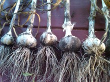2011 Garlic Harvest