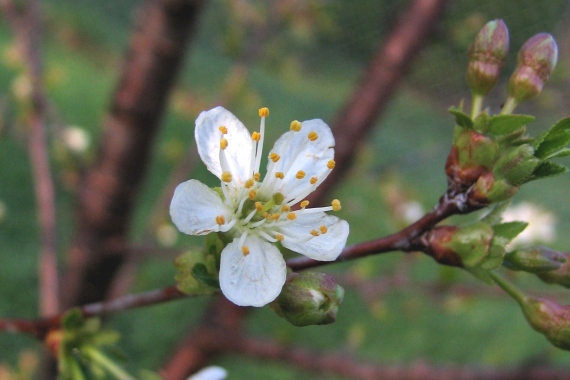 Cherry Flower Blossom
