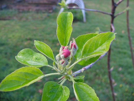 Yellow Delicious Apple Flower Bud