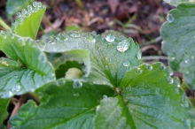Strawberry Plant with Raindrops