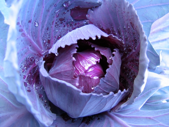 Baby Purple Cabbage
