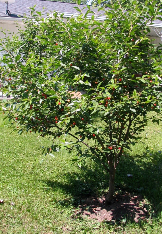 Two dwarf Northstar Cherry Trees.